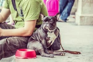 French Bulldog Eating Food