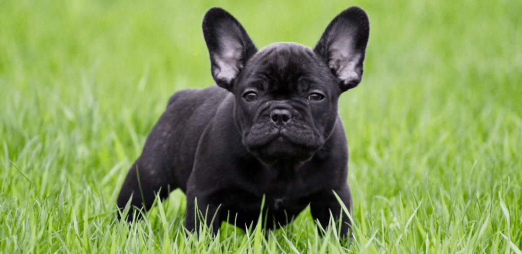 Black french bulldog puppy