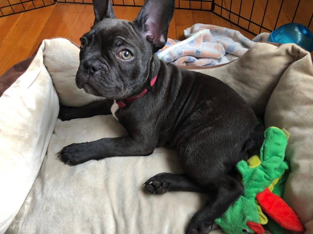 French Bulldog laying in his Bed