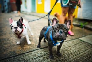 french bulldogs out for a walk
