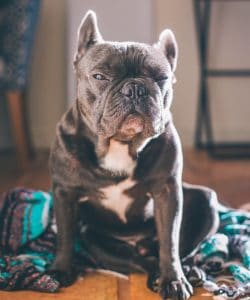 old french bulldog