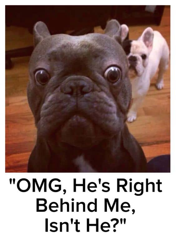French Bulldog Meme Funny