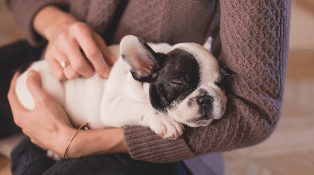 French bulldog sleeping in arms