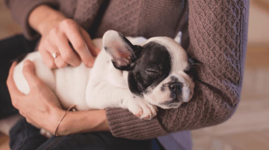 French bulldog sleeping in arms