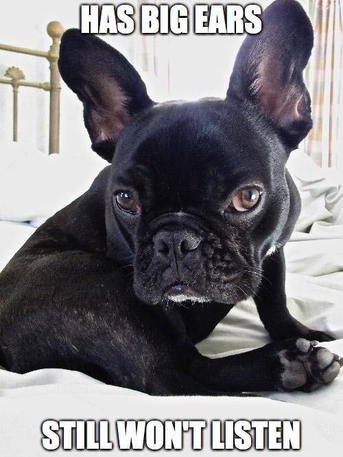 A Collection Of French Bulldog Memes