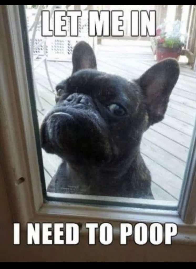 French Bulldog Poop meme