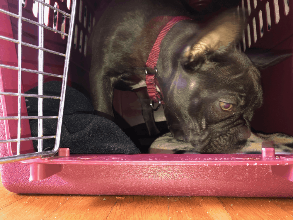 French Bulldog in a Crate