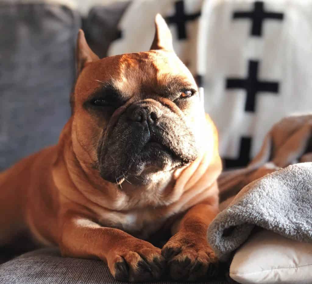 overweight french bulldog
