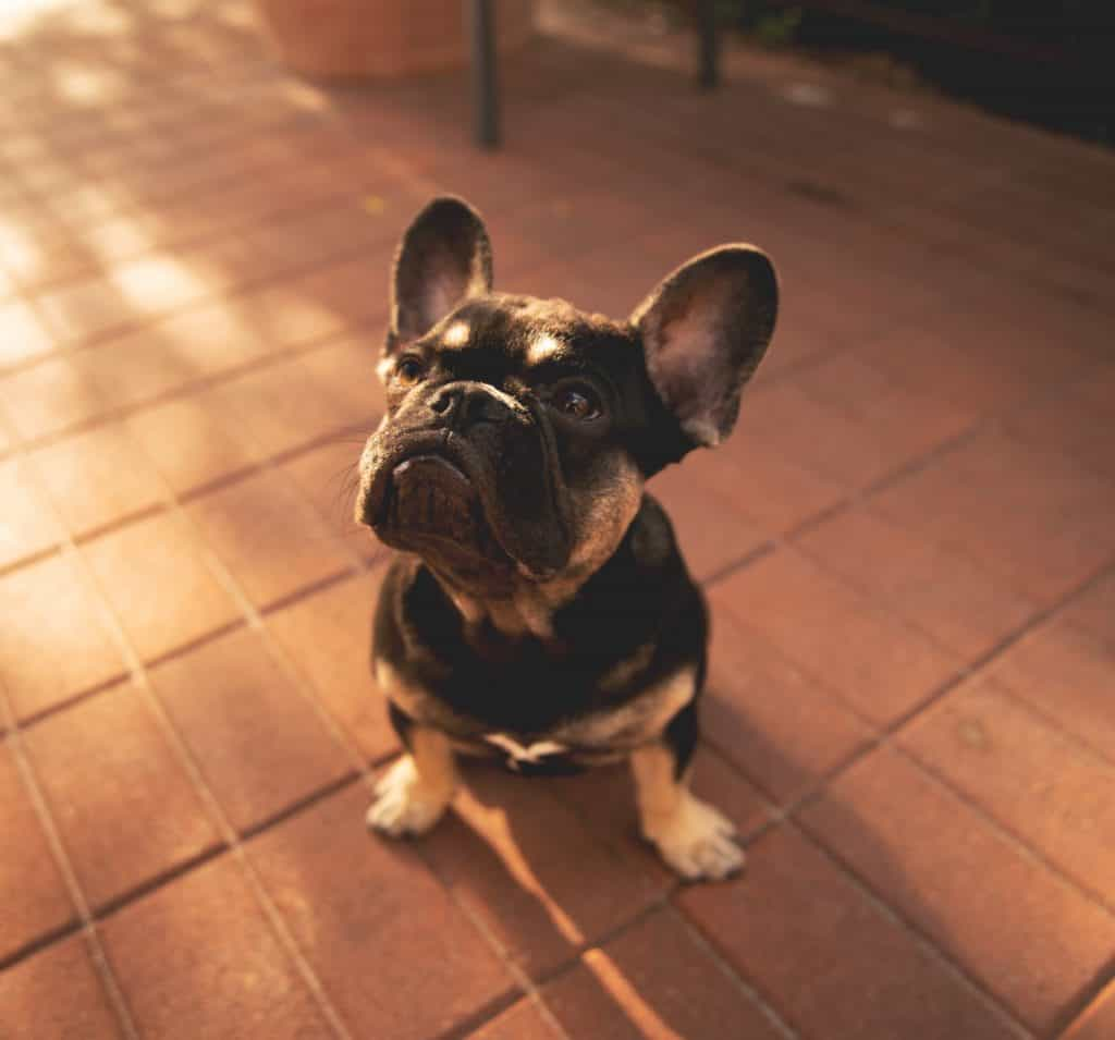 French Bulldog Stay Command