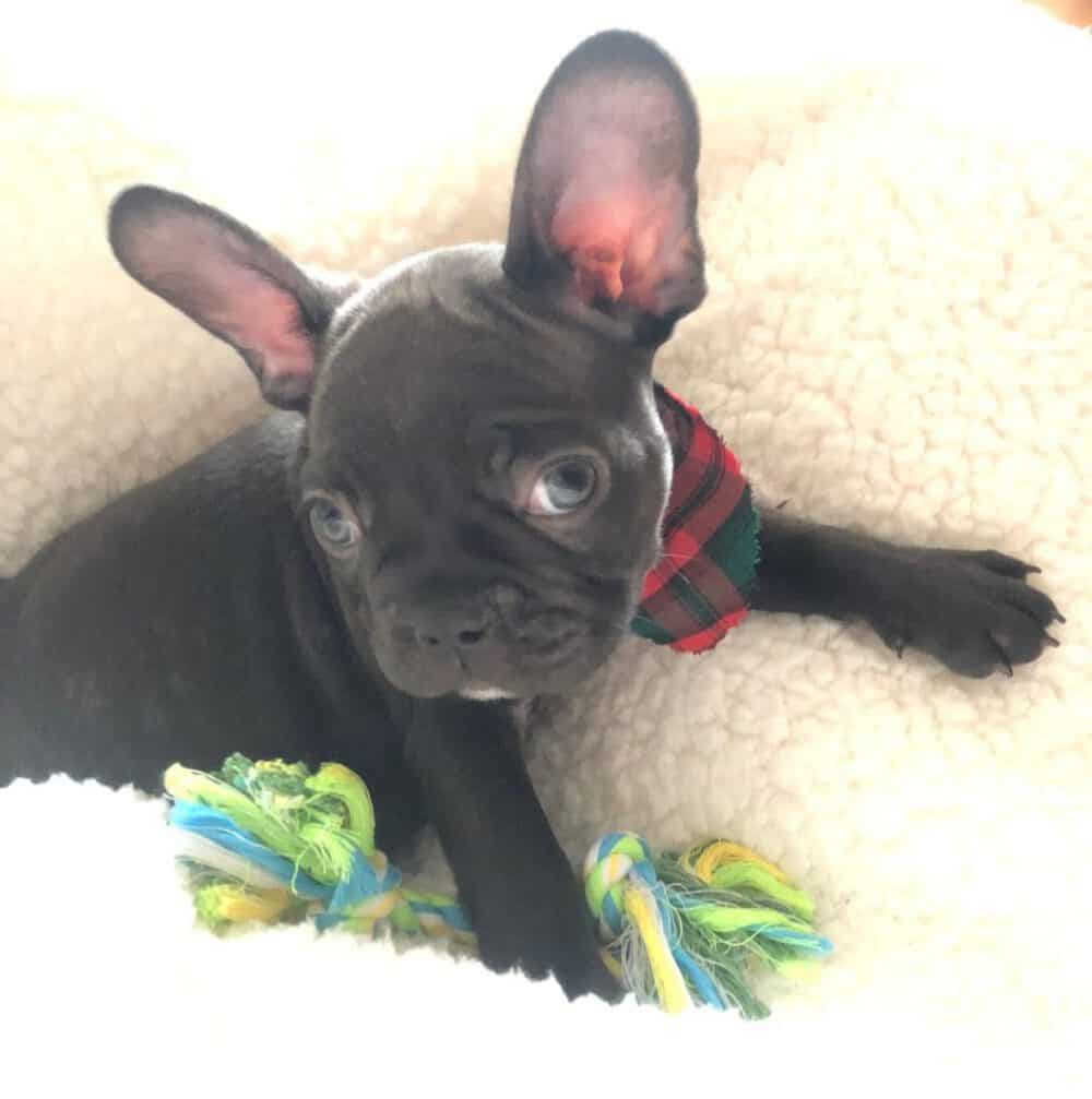 dog bed frenchie