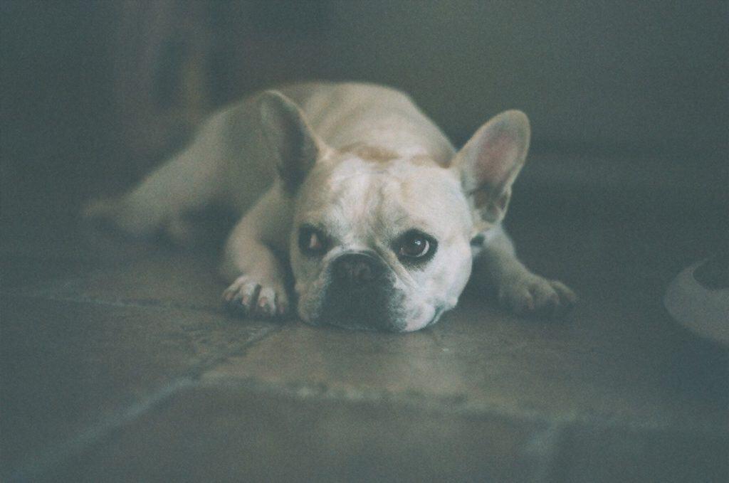 French Bulldog laying down
