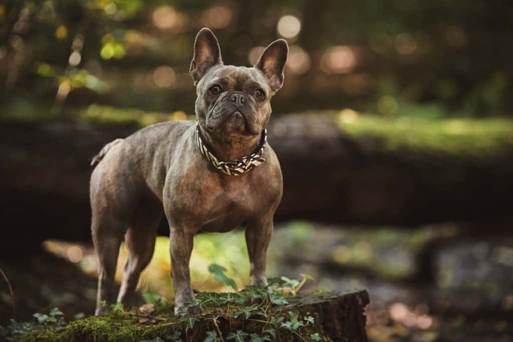 French Bulldog how to come