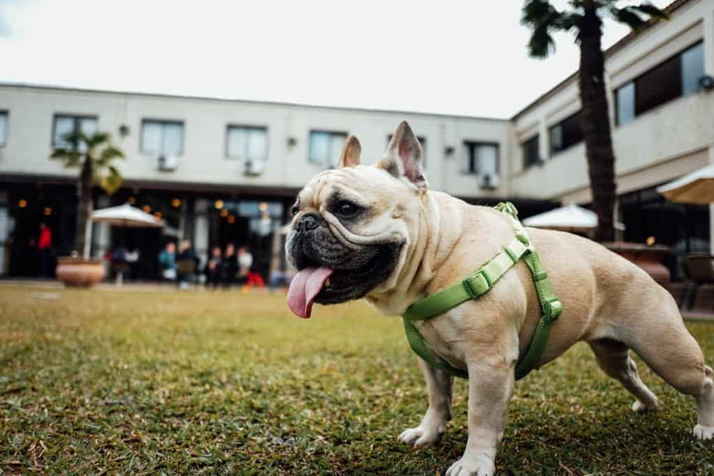 French bulldog in a harness