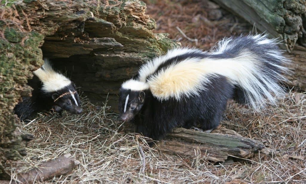 skunk spray on dog