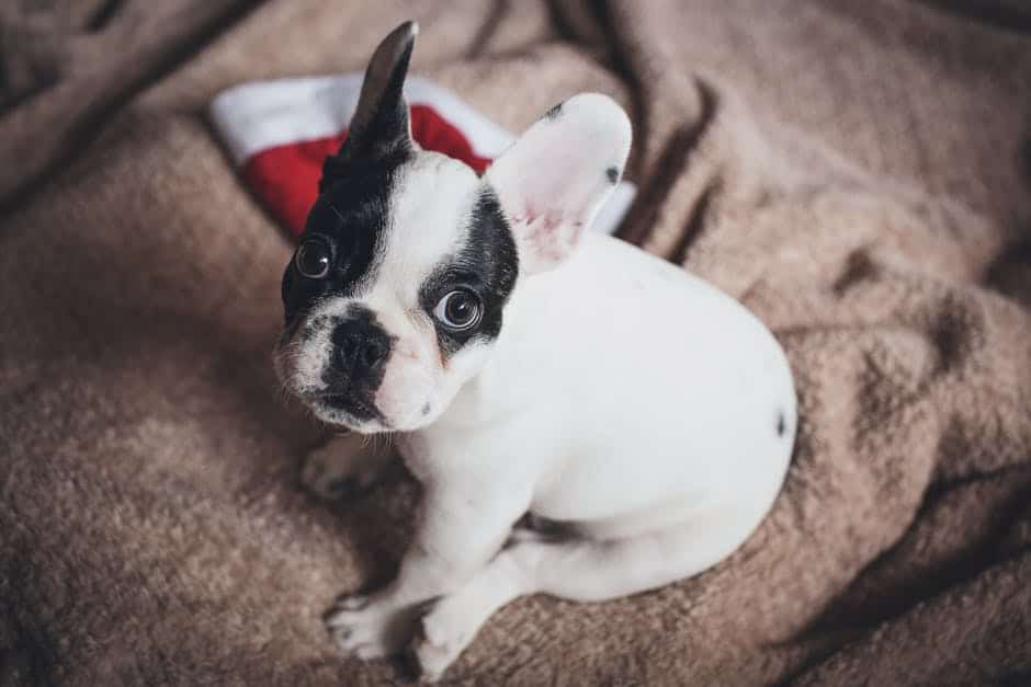 French bulldog cute dog