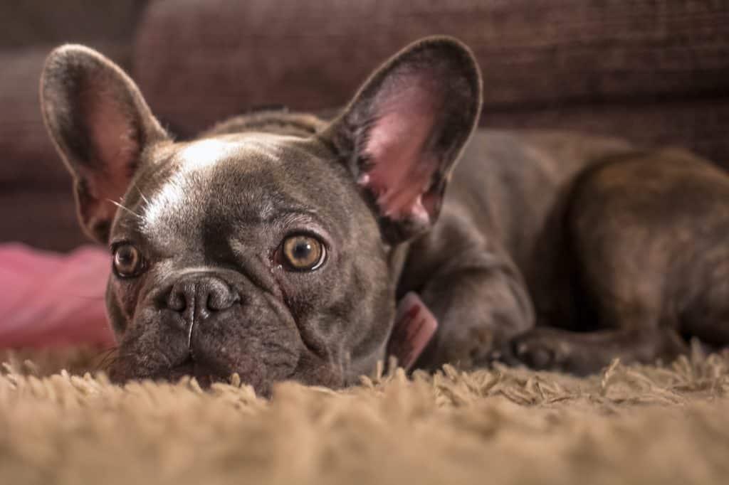 best health insurance for French Bulldog