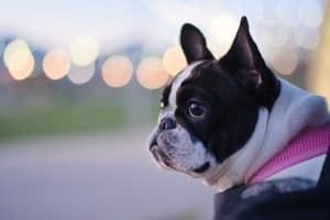 Frenchie dog has dry nose