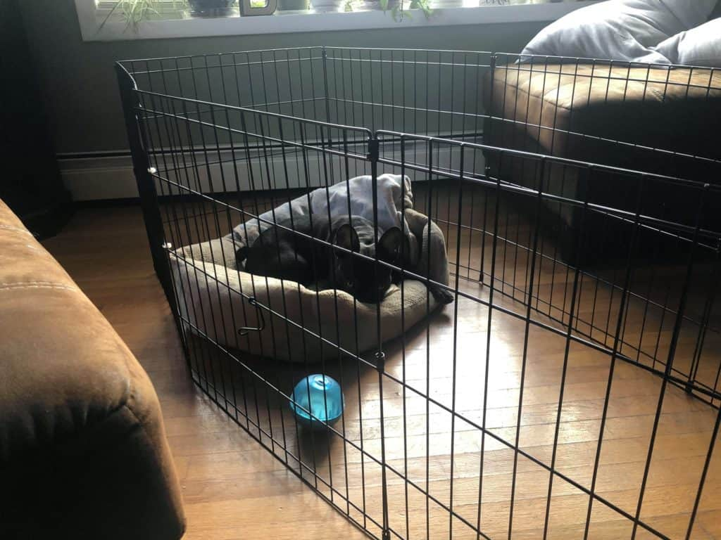 augie in an exercise dog pen