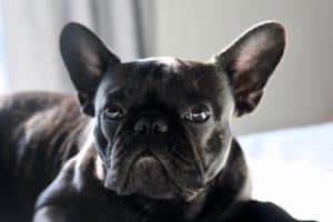 french bulldog with e collar