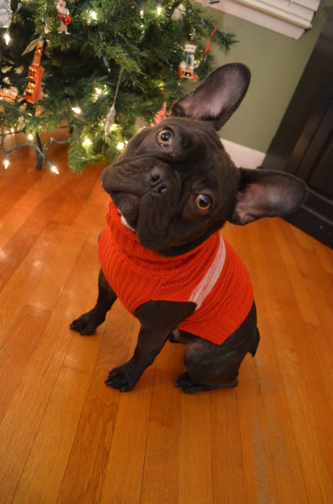French Bulldog Wearing turtleneck