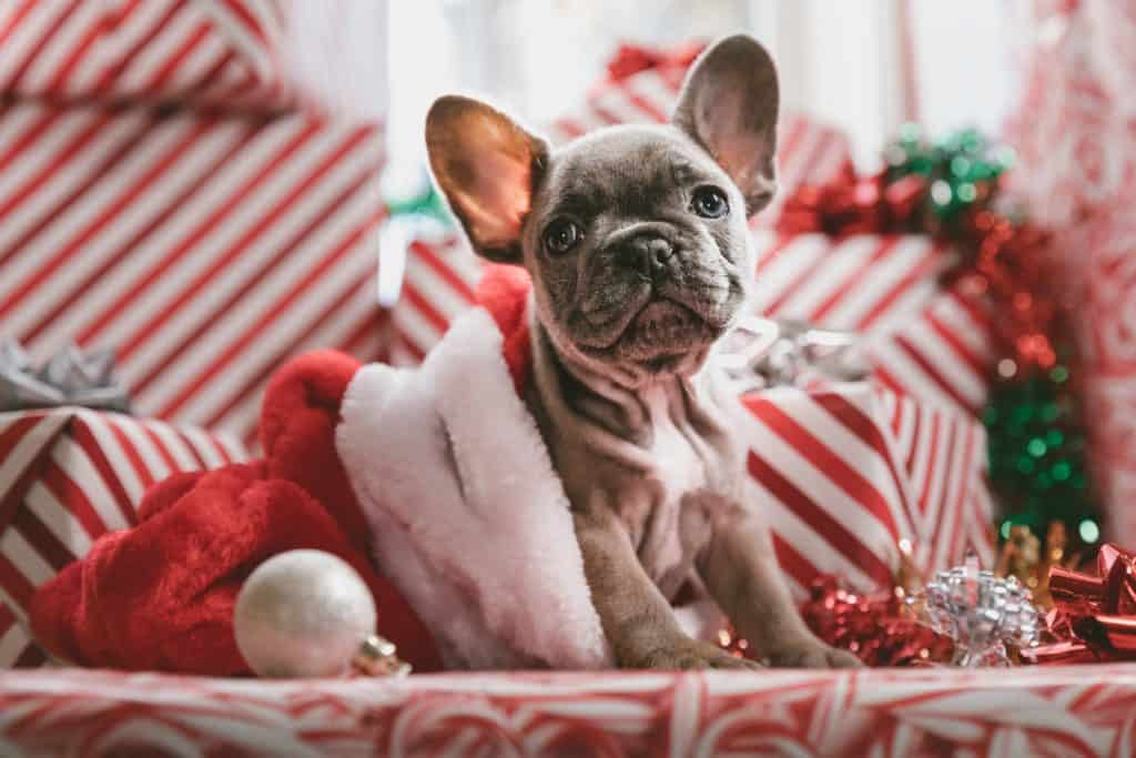 French Bulldog Christmas ideas