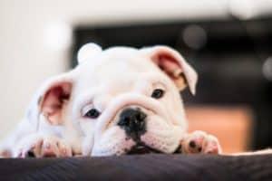 French bulldog dog wipes