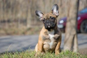 potty training a french bulldog