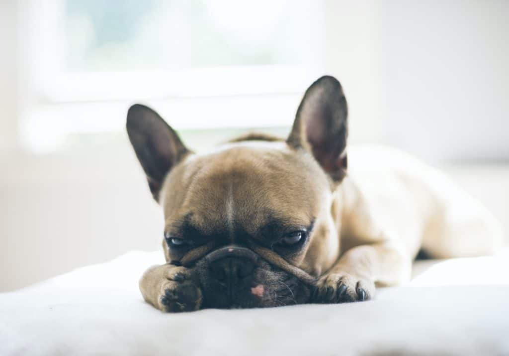 French Bulldog Pros and Cons to consider