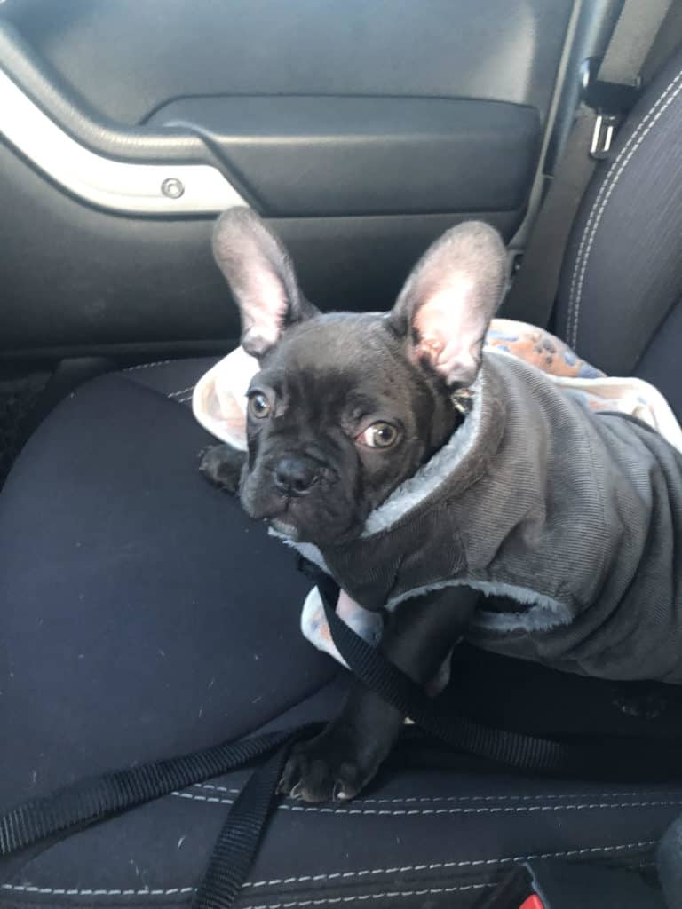 cold french bulldog in winter coat