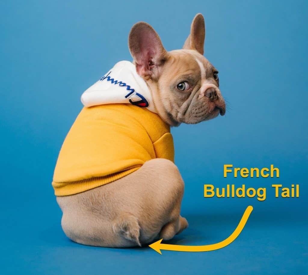A cute french bulldog tail