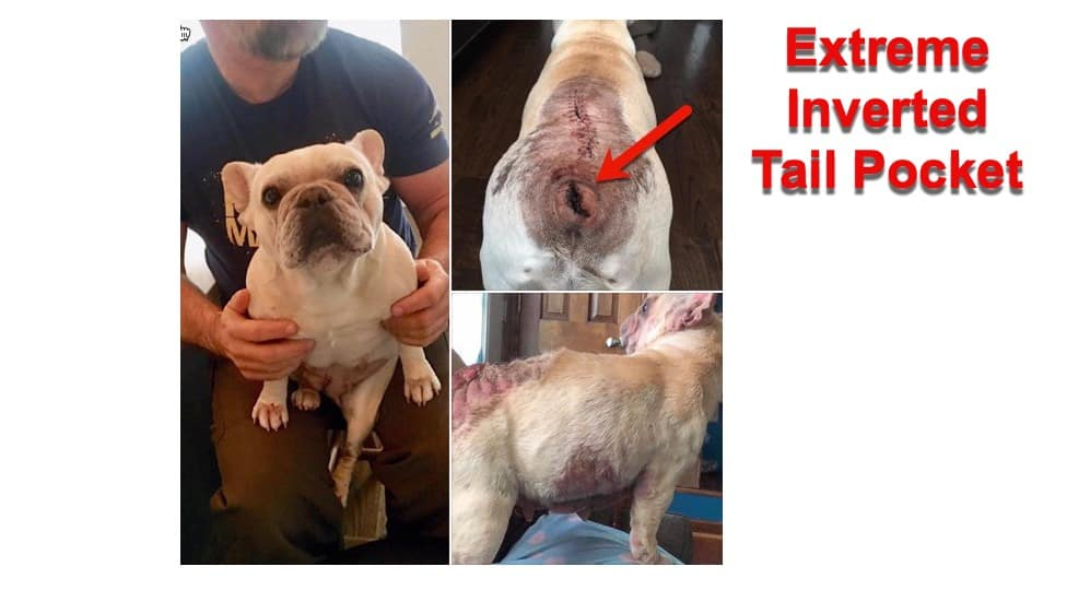 extreme inverted tail pocket on a French Bulldog