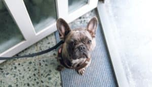 french bulldog on a doormat