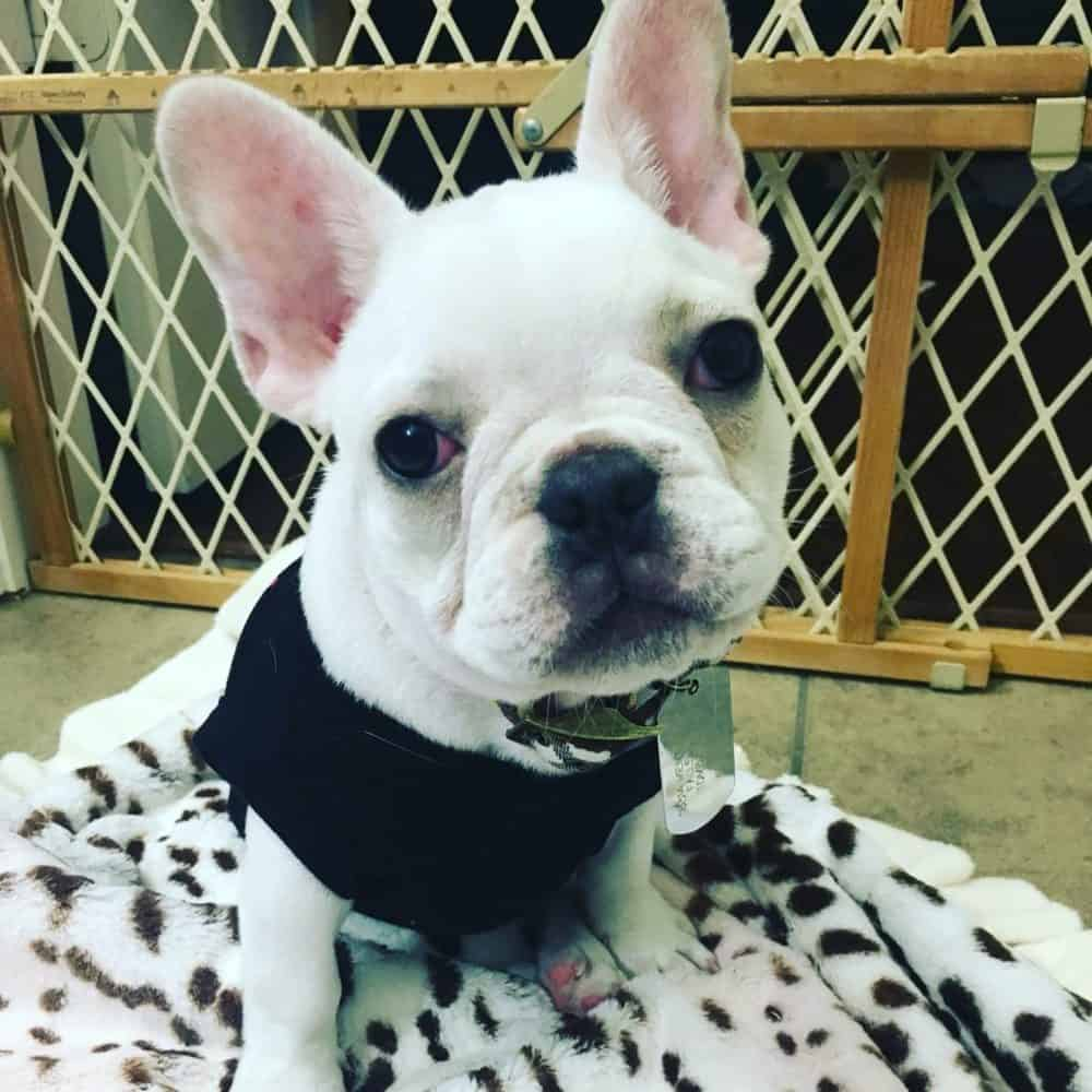 french bulldog puppy in an exercise pen