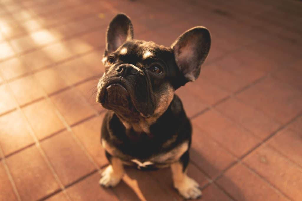 black and tan french bulldog puppy