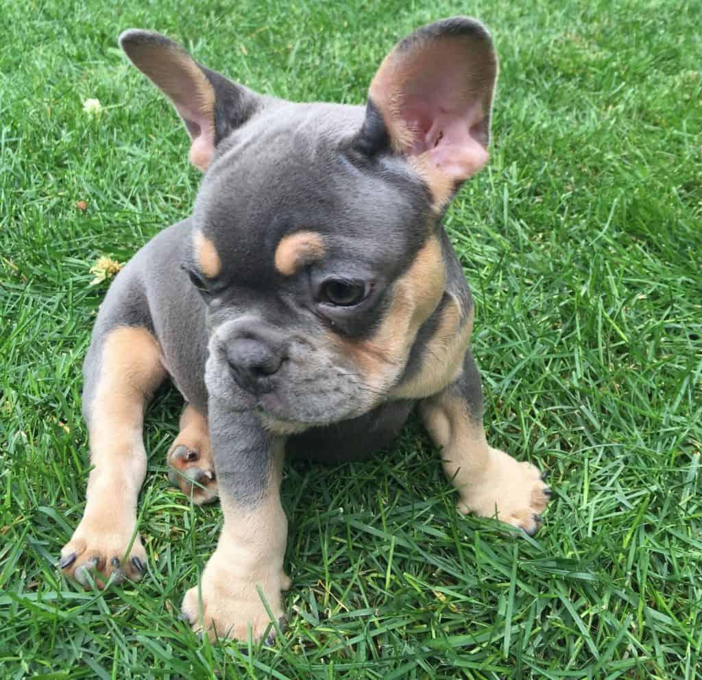blue and tan french bulldog