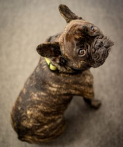 Brindle French Bulldog color