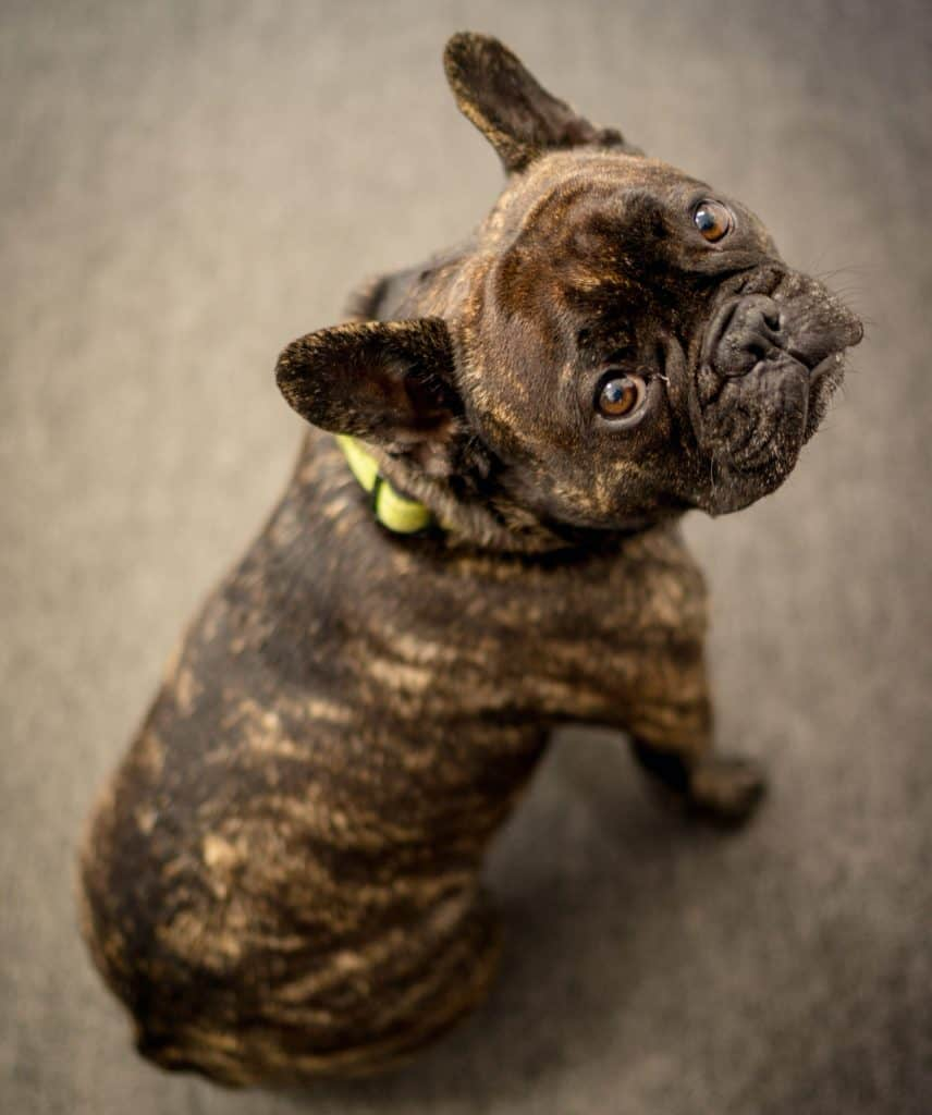Brindle French Bulldog color