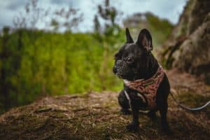french bulldog in the forest
