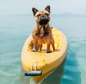 french bulldog swim
