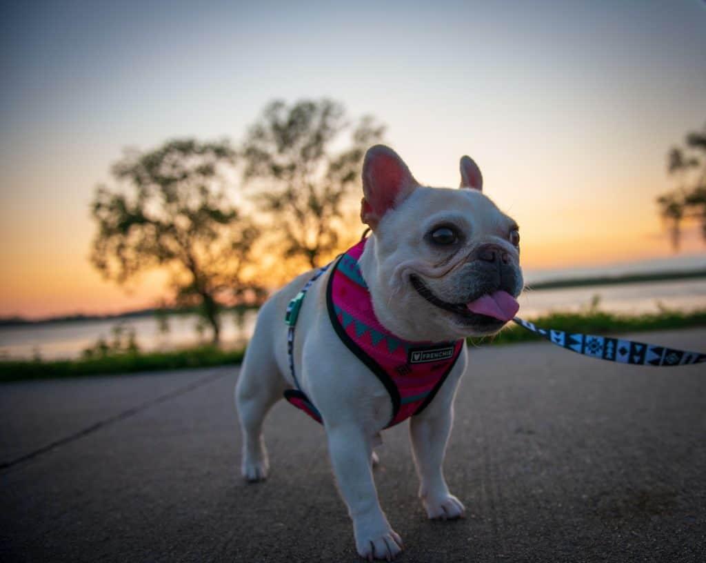 French Bulldog hot on a walk