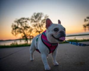 French Bulldog hot on a walk