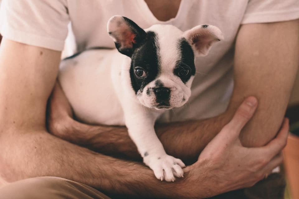 French bulldog in a mans arms