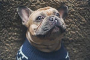 French Bulldog laying on his back