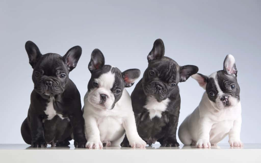 French Bulldog Puppies looking cute