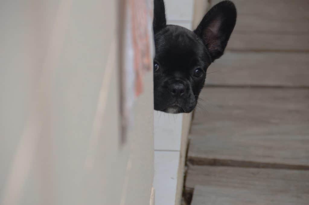 French Bulldog dog door