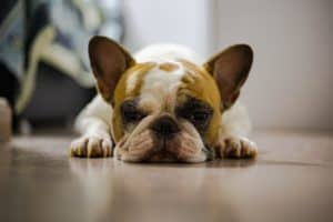 cute french bulldog on the floor