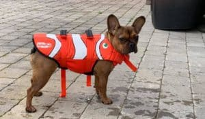 french bulldog wearing a life jacket