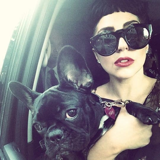 Lady Gaga French Bulldog