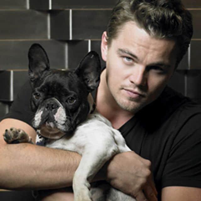 Leonardo Dicaprio French Bulldog