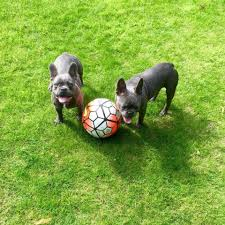 Marcus Rashford French Bulldog